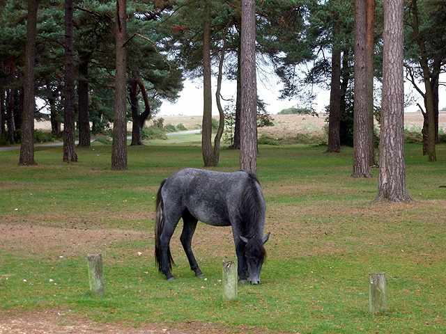 New Forest pony at Beaulieu Road