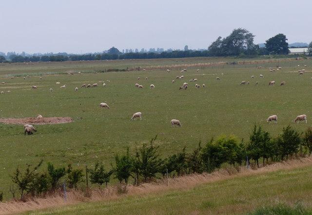 Sheep near the North Sea Camp prison