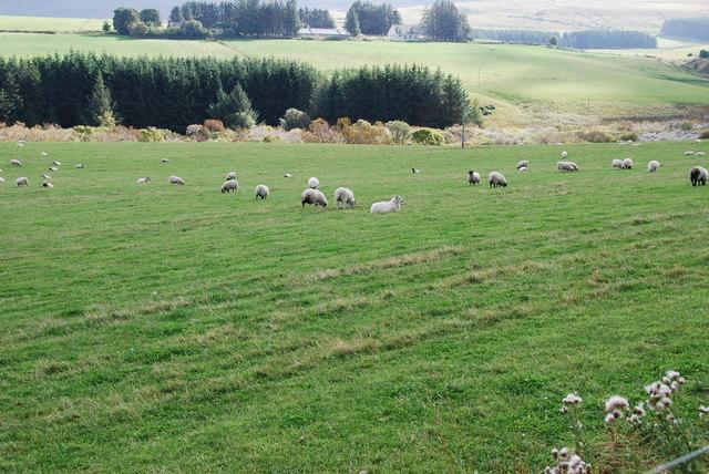 Pasture Land and Sheep
