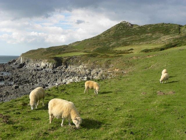 Sheep near Morte Point