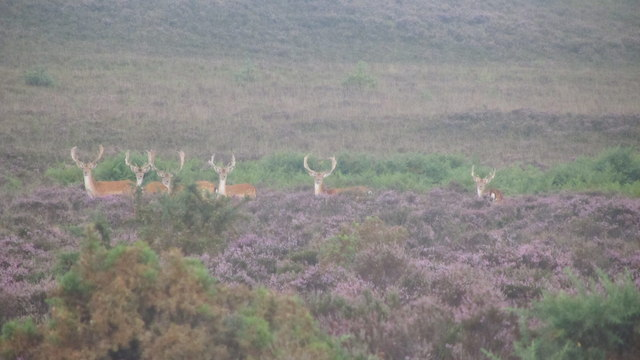 A group of Fallow Bucks in the New forest heather