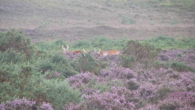 Fallow bucks in the heather in The New Forest