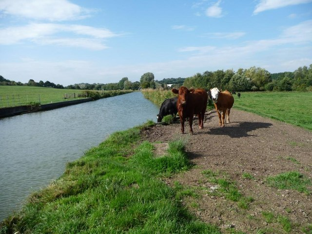 Cattle at Marsh Lock, Freeman's Marsh