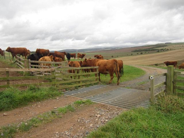 Cattle grazing beside St Cuthbert's Way
