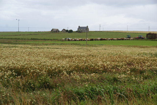 Cattle being assembled near Burwick