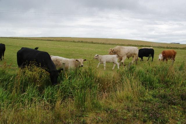Cattle at Burwick