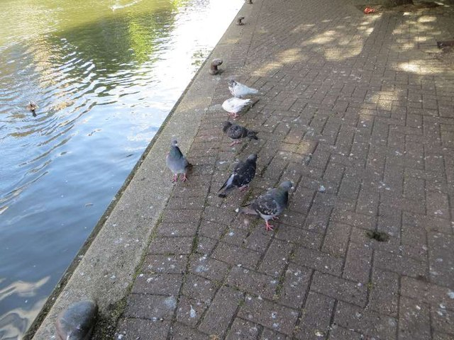 Pigeons on the bank
