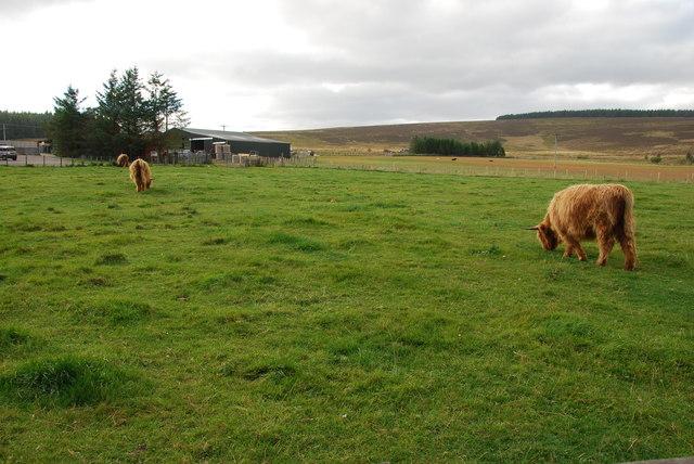 Highland cows and farm