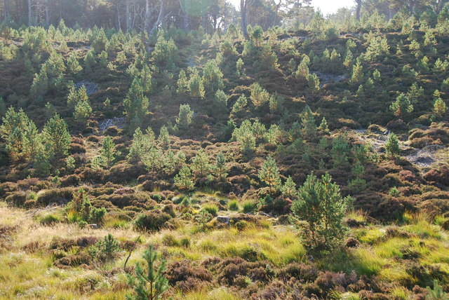 Young Scots Pine and marshy area