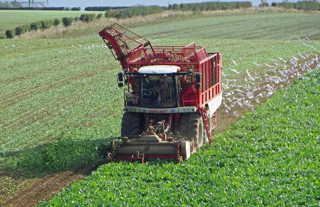 Beet Harvesting near North Wold Farm