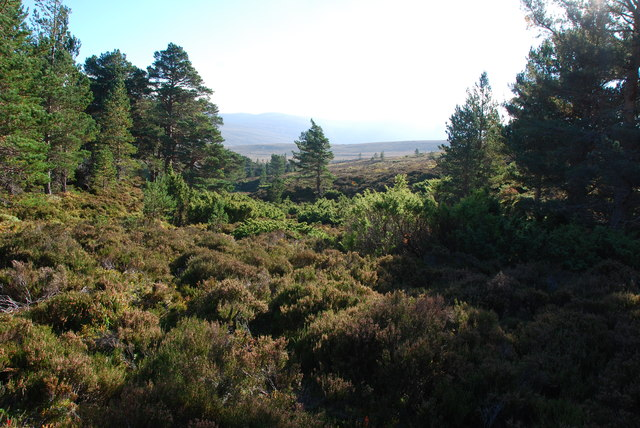 Last of the Scots Pine