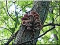 SP9208 : Tuft of fungi - probably Armillaria by Rob Farrow