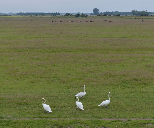 Swans and farmland at Freiston Shore