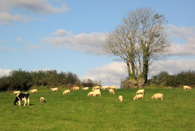Sheep and cattle at Fair View