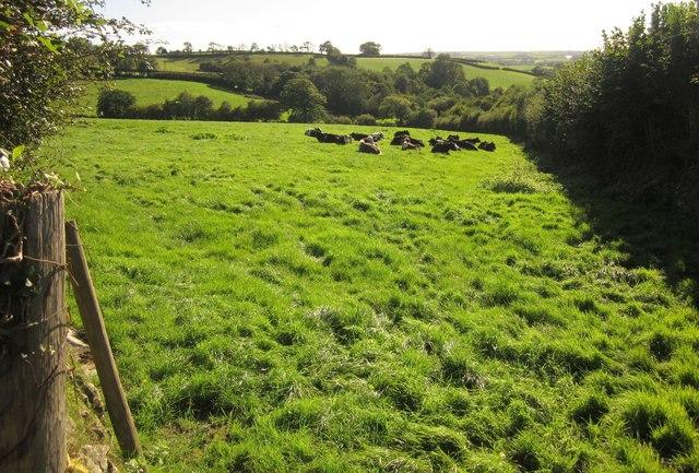Cattle near Trevashmond
