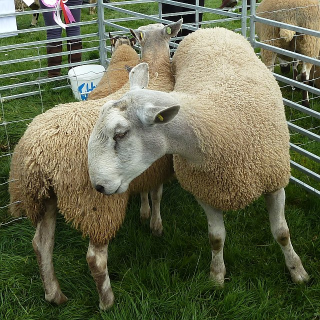 Blue Faced Leicester sheep at Llanfair Show