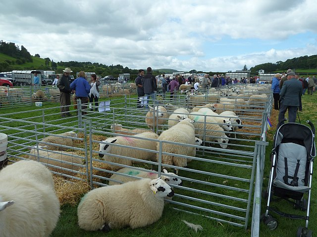 Sheep at Llanfair Show