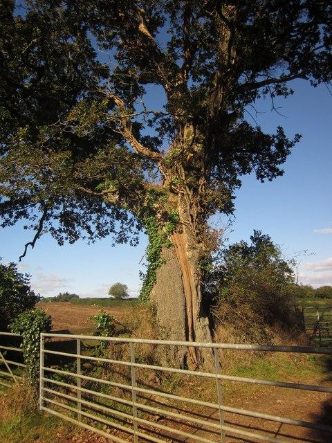 Oak at Trevashmond