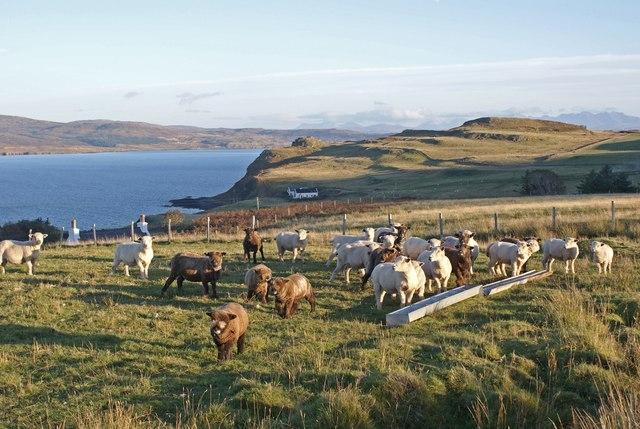 Ryeland sheep at Borreraig