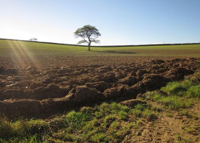 Tree in field near Connemara Farm