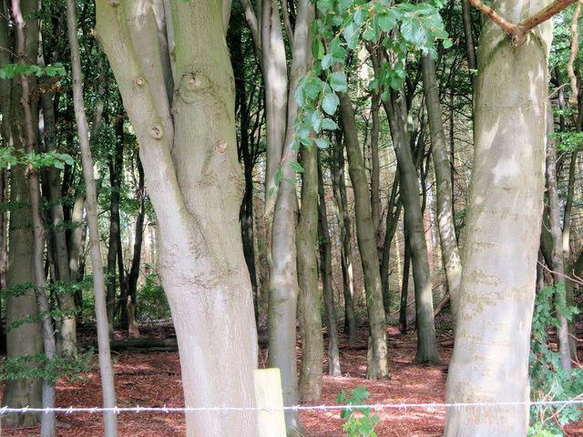 Beech woodland northwest of New Hall