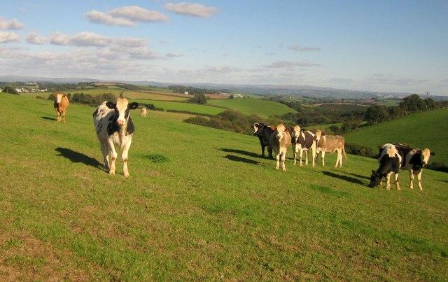 Bullocks near Blunts