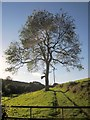 SX3364 : Tree below Brandispiece by Derek Harper
