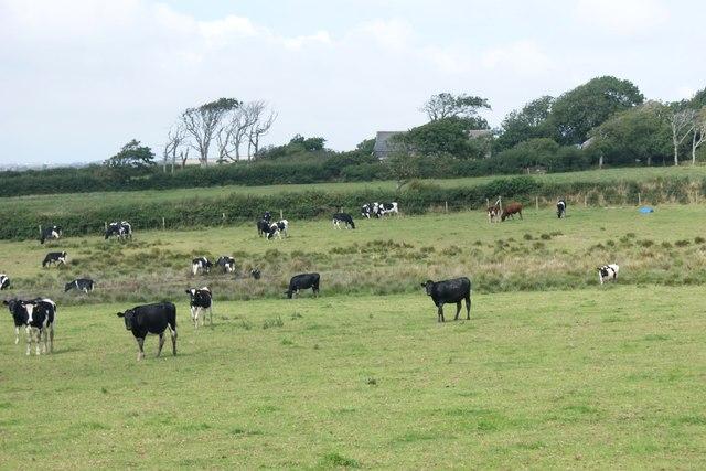 Cattle grazing near Pen-y-gors
