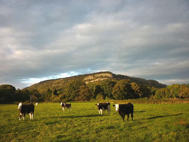 Cattle below Millside Scar