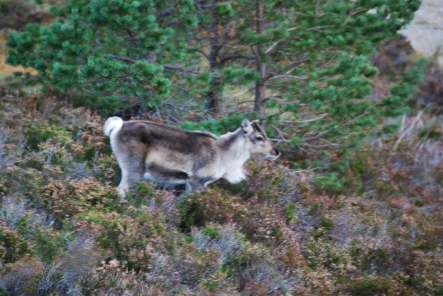 Reindeer calf