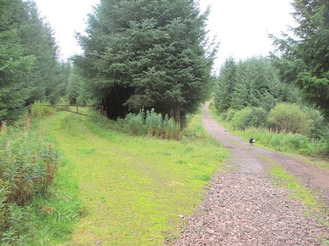 Tracks in Auchencairn Forest