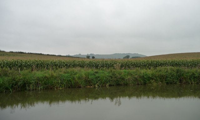 Maize field, north bank, Kennet & Avon canal