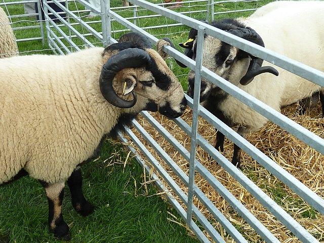 Badger faced tups at Llanfair Show