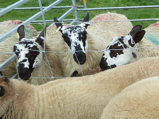 Speckle faced sheep at Llanfair Show