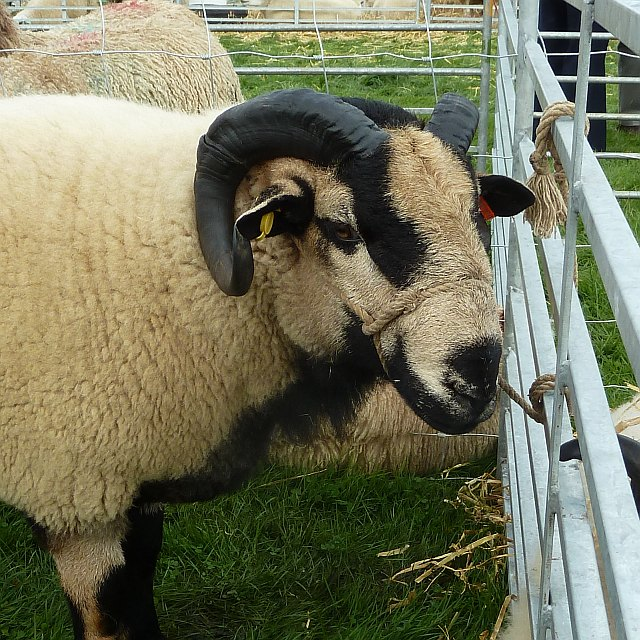 Badger faced sheep at Llanfair Show