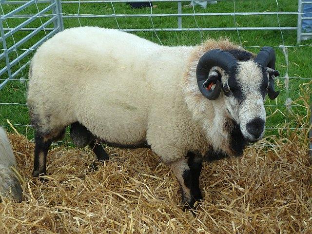Badger faced tup at Llanfair Show