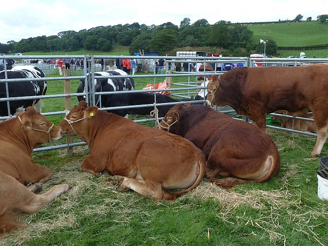 Limousin cattle at Llanfair Show
