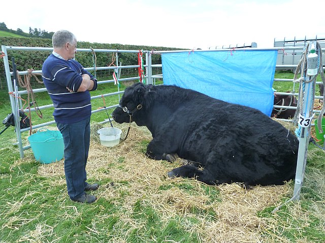 Welsh Black bull at Llanfair Show