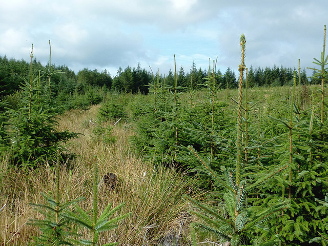 Young conifers on Esgair Cloddiad, Powys