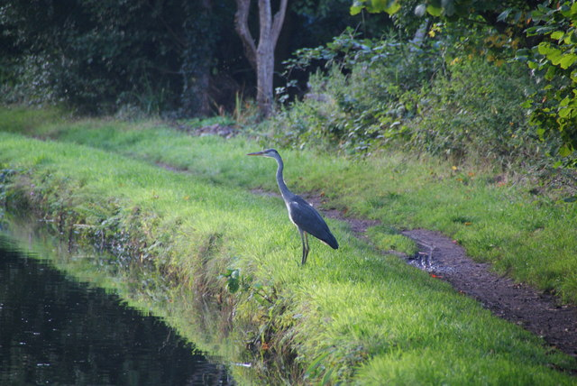 Heron by the Bridgewater Canal