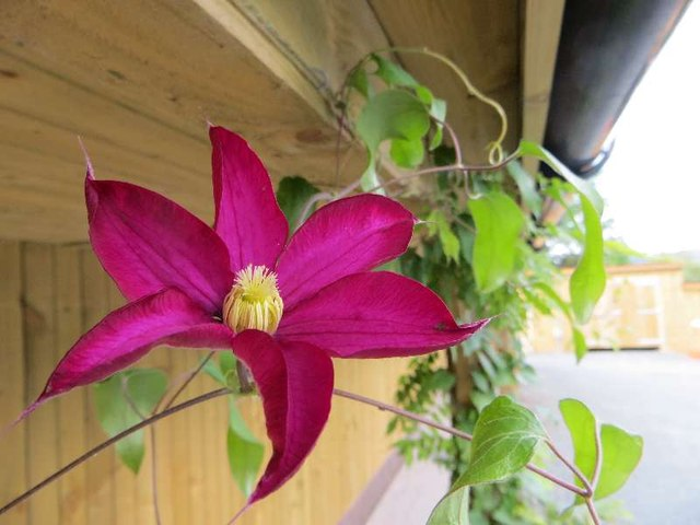 Clematis on the Showerblock