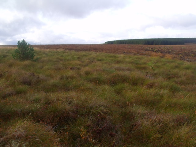 Self-seeded pine on blanket bog near Feith a' Chuill south of Crask Inn, Sutherland