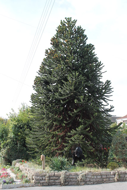 Monkey Puzzle Tree, Louth road, Wragby