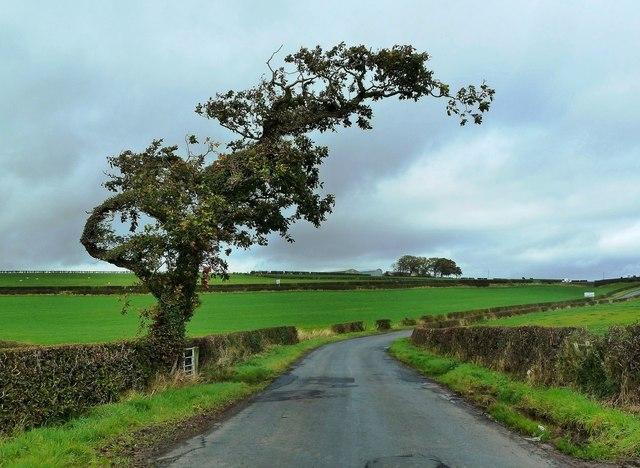 A Wind-Shaped Tree Near Mossblown