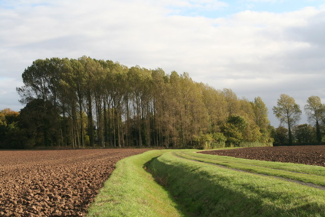Poplars by the track in Grainsby Park