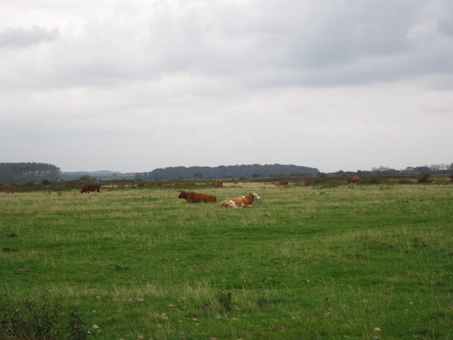 Cattle in the meadow near Lady Anne's Drive