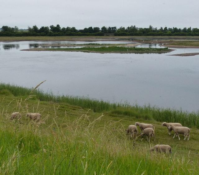 Sheep at the saline lagoon