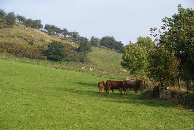 Cattle family near Clough House Farm