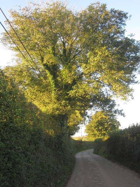 Tree by the lane near Tredudwell