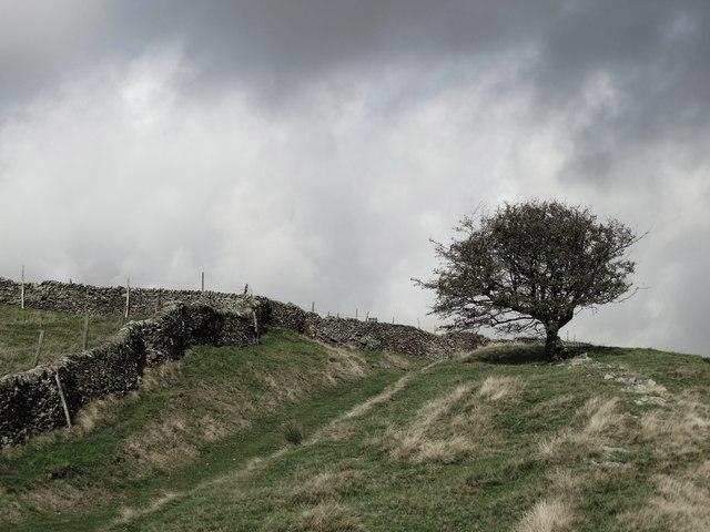 Pennine hawthorn tree